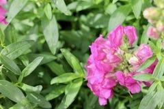 Fleur rose et fond vert de macro de feuille Images libres de droits