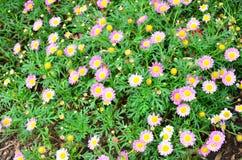 Fleur rose et jaune Photos stock