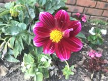 Fleur rose et jaune au néon Photographie stock libre de droits