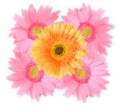 Fleur rose et orange de marguerite de gerbera d'isolement images stock