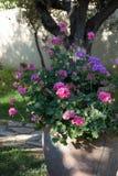Fleur rose et pourpre de géranium dans le vieux pot d'argile dans le Gard Image libre de droits