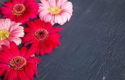 Fleur rose et rouge de marguerite de gerbera sur les milieux concrets Ressort images stock