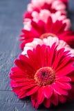 Fleur rose et rouge de marguerite de gerbera sur les milieux concrets Ressort image stock