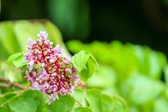fleur rose fleurissant dans le jardin et brouiller les feuilles vertes images stock