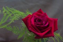Fleur rose isolée images stock