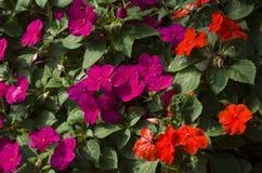 Fleur rose, jaune et rouge colorée dans le jardin photos libres de droits