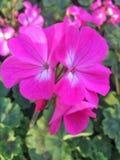 Fleur rose - ketmie Image libre de droits