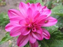 Fleur rose lumineuse Image libre de droits