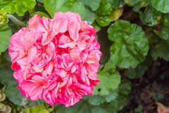 Fleur rose lumineuse de géranium photos stock