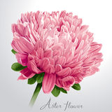 Fleur rose luxueuse d'aster Image stock