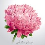 Fleur rose luxueuse d'aster Image stock