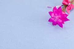 Fleur rose magnifique de cactus Photographie stock libre de droits