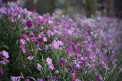 Fleur rose molle avec le fond de tache floue Photographie stock