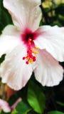 Fleur rose molle avec le pistil rouge dans les gouttes de pluie Photo stock