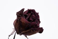 Fleur rose morte Photos stock