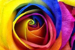 Fleur rose ou heureuse d'arc-en-ciel Images libres de droits
