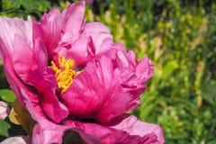 Fleur rose parfumée de pivoine d'arbre en pleine floraison Photo libre de droits