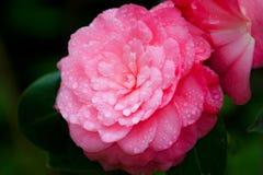 Fleur rose pendant une fin de douche de ressort  Image stock