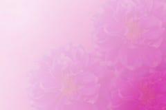Fleur rose pour le fond Photographie stock libre de droits