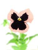 fleur Rose-pourpre de pensée Photos stock