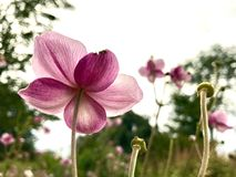Fleur rose rétro-éclairée recherchant vers le ciel Photographie stock libre de droits