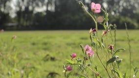 Fleur rose romantique dans le premier plan banque de vidéos