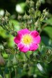 Fleur rose rougeâtre photos stock