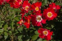 Fleur rose rouge fleurissant dans le jardin de roses images libres de droits