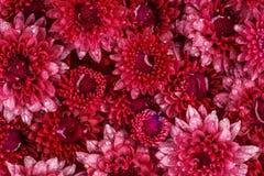 Fleur rose rouge fraîche molle avec la baisse de l'eau de pluie pour l'amour romant Photo libre de droits
