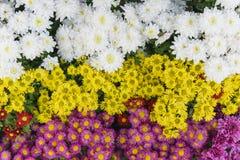 Fleur rose, rouge, jaune et blanche de chrysanthème Photo libre de droits