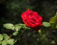 Fleur rose rouge simple et bourgeon cru images stock