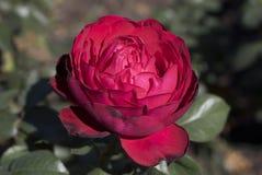 Fleur rose rouge utilisée comme Saint-Valentin images libres de droits