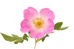 Fleur rose sauvage Photo libre de droits