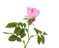 Fleur rose sauvage Image stock