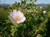 Fleur rose Rose sauvage rose ou la chien-rose fleurit avec des feuilles Photographie stock libre de droits