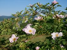 Fleur rose Rose sauvage rose ou le dogrose fleurit avec des feuilles sur le fond de ciel bleu Photos stock