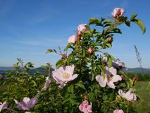 Fleur rose Rose sauvage rose ou le dogrose fleurit avec des feuilles sur le fond de ciel bleu Photos libres de droits