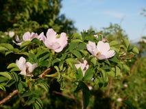 Fleur rose Rose sauvage rose ou le dogrose fleurit avec des feuilles sur le fond de ciel bleu Photo libre de droits