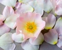 Fleur rose sauvage rose contre les pétales tombés Images libres de droits