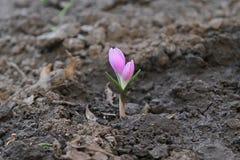 Fleur rose sensible de source Tubercule à bulbe éternel de crocus rose Photo libre de droits