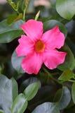 Fleur rose simple de Dipladenia photo stock