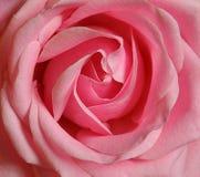 Fleur rose simple de Rose Photos libres de droits