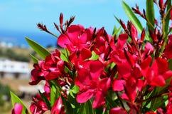 Fleur rose sur l'île de Rhodes Images stock