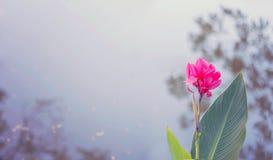 Fleur rose sur le fond de tache floue de l'eau Image libre de droits