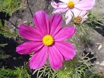 Fleur rose sur le parterre photo stock