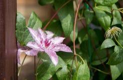 Fleur rose sur un fond des feuilles vertes Images libres de droits