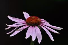 Fleur rose sur un fond noir Images stock