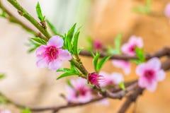 Fleur rose sur une branche de pêcher Images libres de droits