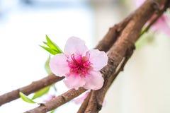 Fleur rose sur une branche de pêcher Photo libre de droits