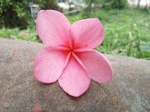 Fleur rose Thaïlande de champa Images stock